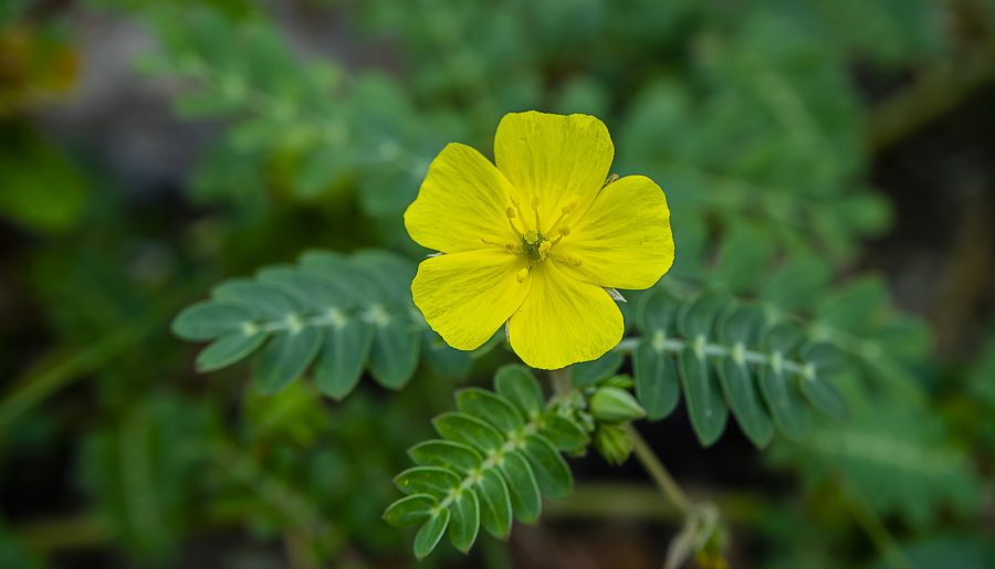 Tribulus Terrestris: Scientific Health Benefits, Negative Effects And Dosage